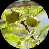 cellavent-ingredients-referenzen-amla