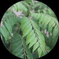 cellavent-ingredients-referenzen-curry-leaf