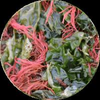 cellavent-ingredients-referenzen-red-algae
